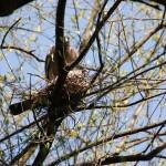Para grzywaczy w trakcie budowy gniazda