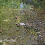 Żółw czerwonolicy w parku Skaryszewskim