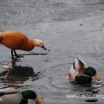 Kazarka podjada kaczkom chleb