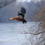 Dla rozprostowania skrzydeł krąży wokół jeziorka