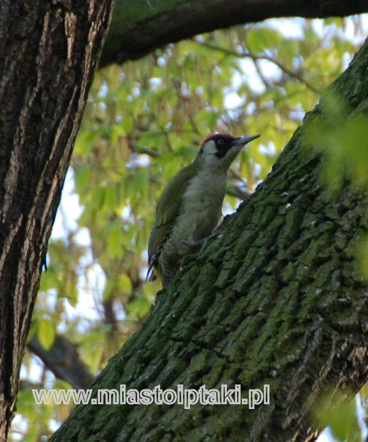 Samica dzięcioła zielonego (Picus viridis)