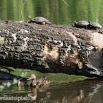 Wygrzewające się żółwie i małe kaczuszki