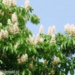 Kwitnący kasztanowiec biały w parku Skaryszewskim