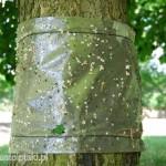 Lepka pułapka uniemożliwiająca szkodnikowi dotarcie do liści
