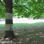 Zabezpieczone opaskami kasztanowce białe poza parkiem