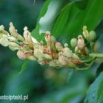 Kwiaty i zawiązujące się owoce kasztanowca żółtego