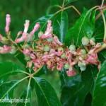 Kwiaty i zawiązujące się owoce kasztanowca czerwonego