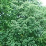 Kasztanowiec czerwony (Aesculus carnea) w parku Skaryszewskim