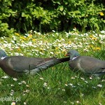 Para grzywaczy (Columba palumbus)