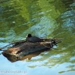 Łyska (Fulica atra) w parku Skaryszewskim