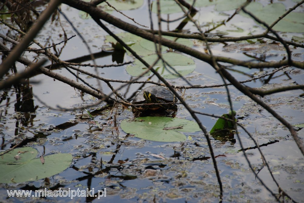 Żółw żółtobrzuchy (?) w jeziorku Kamionkowskim