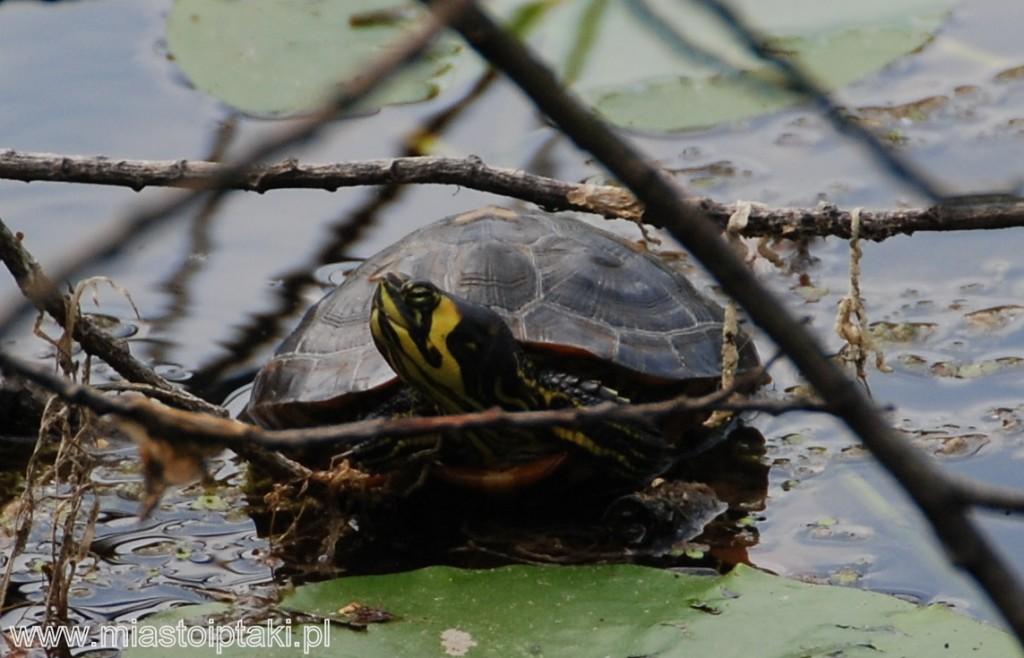 Żółw żółtobrzuchy (?) w parku Skaryszewskim