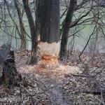 Jeszcze tylko trochę bobrowej pracy, a to drzewo zostanie powalone