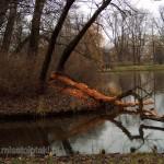 Powalone i okorowane przez bobry drzewo