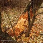 Tu w nadgryzione przez bobry drzewo ponabijano duże gwoździe
