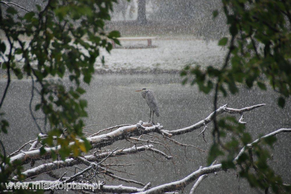 Czapla siwa (Ardea cinerea) w parku Skaryszewskim