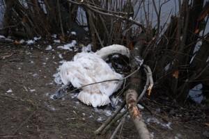 Ten młody łabędź, skazany na dietę chlebową, nie przeżył ubiegłej zimy