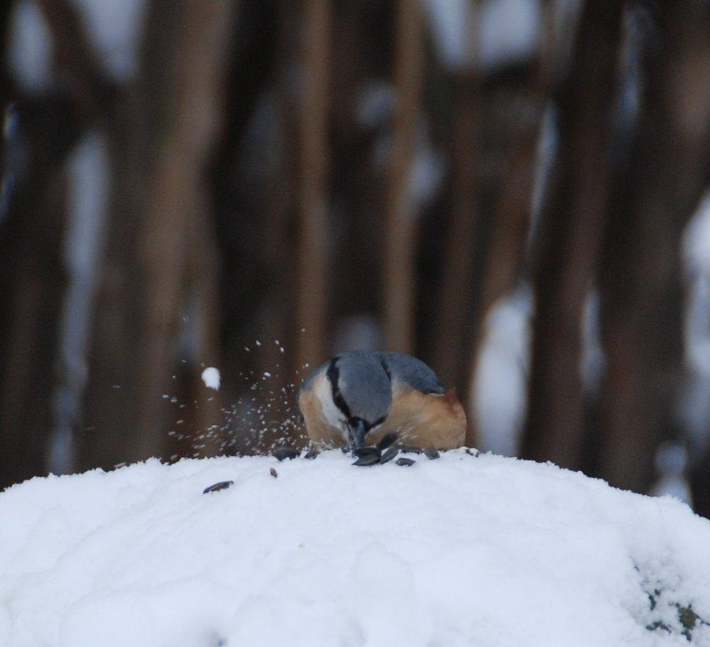 Ptaki potrafią znakomicie wyłuskać nasiona – kowalik (Sitta europaea)