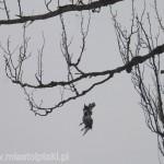 Zaplątany w żyłkę gołąb nie miał żadnych szans na wyswobodzenie się