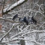 Wbrew pozorom, gołębie też lubią przesiadywać na drzewach
