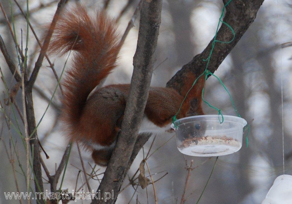 Wiewiórka też korzysta z ptasiego karmnika