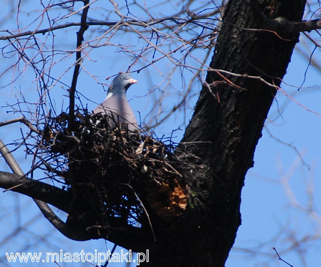 Grzywacz (Columba palumbus) w gnieździe