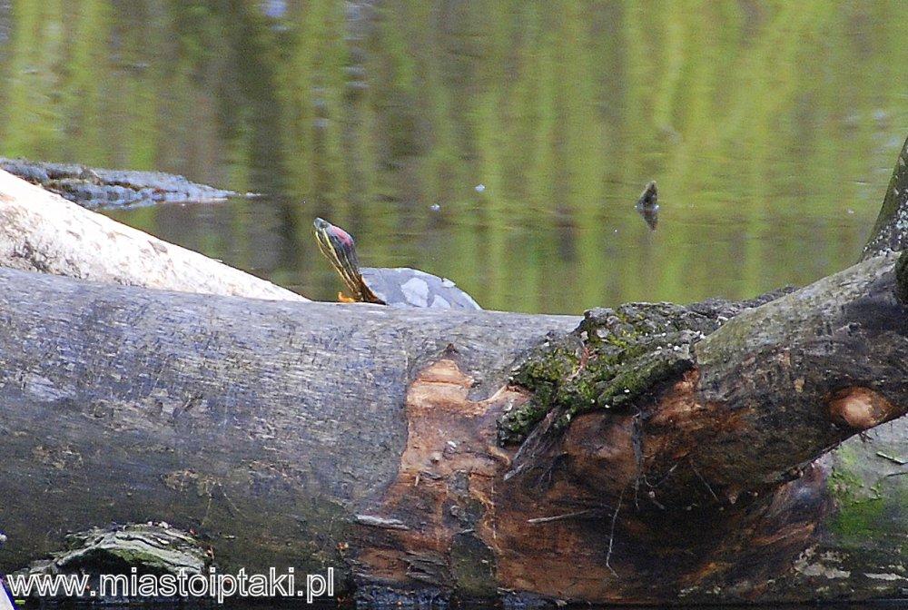 Żółw czerwonolicy w parku Skaryszewskiem