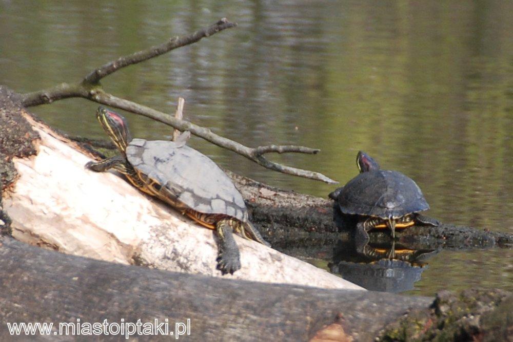 Żółwie czerwonolice w parku Skaryszewskim