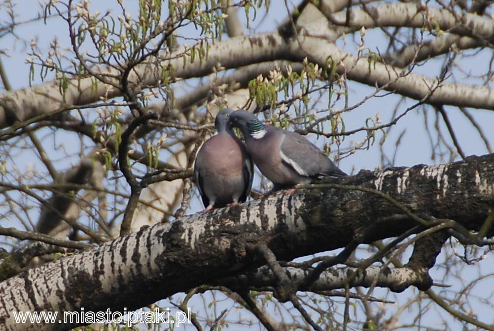 Para grzywaczy (Columba palumbus) w parku Skaryszewskim
