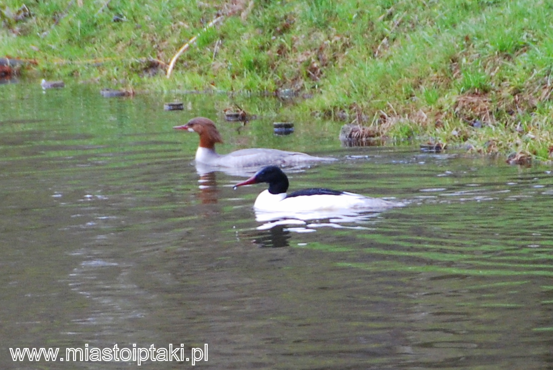 Para nurogęsi (Mergus merganser) w parku Skaryszewskim