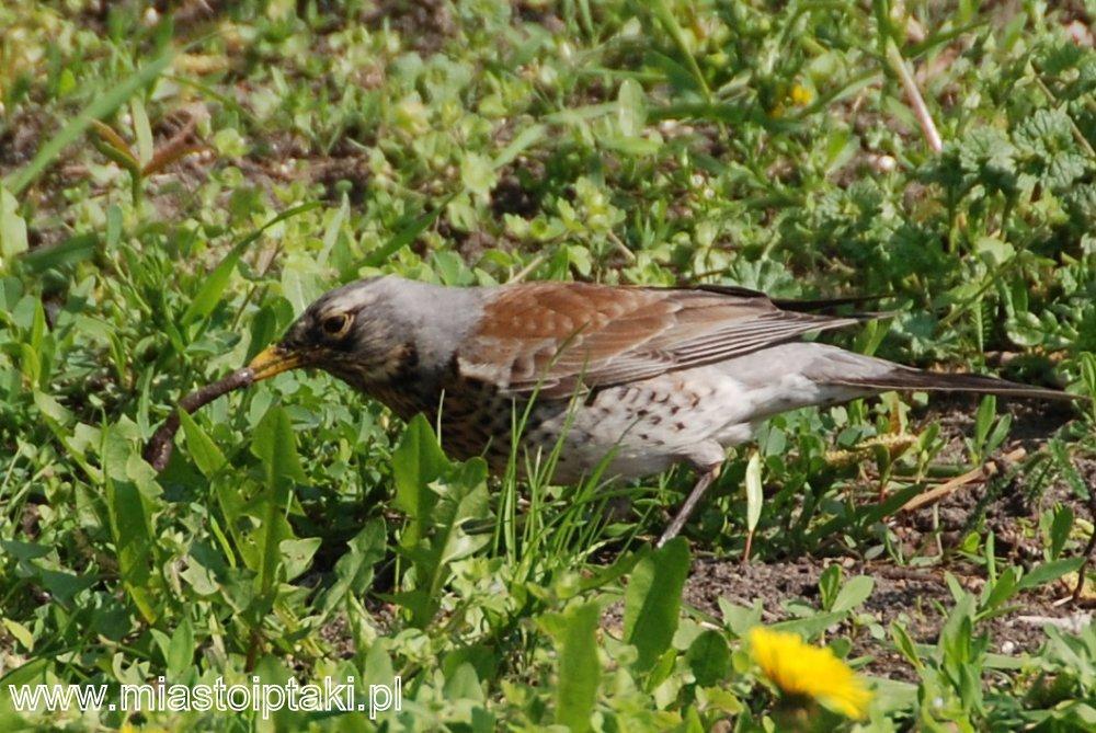 Żerujący kwiczoł (Turdus pilaris)