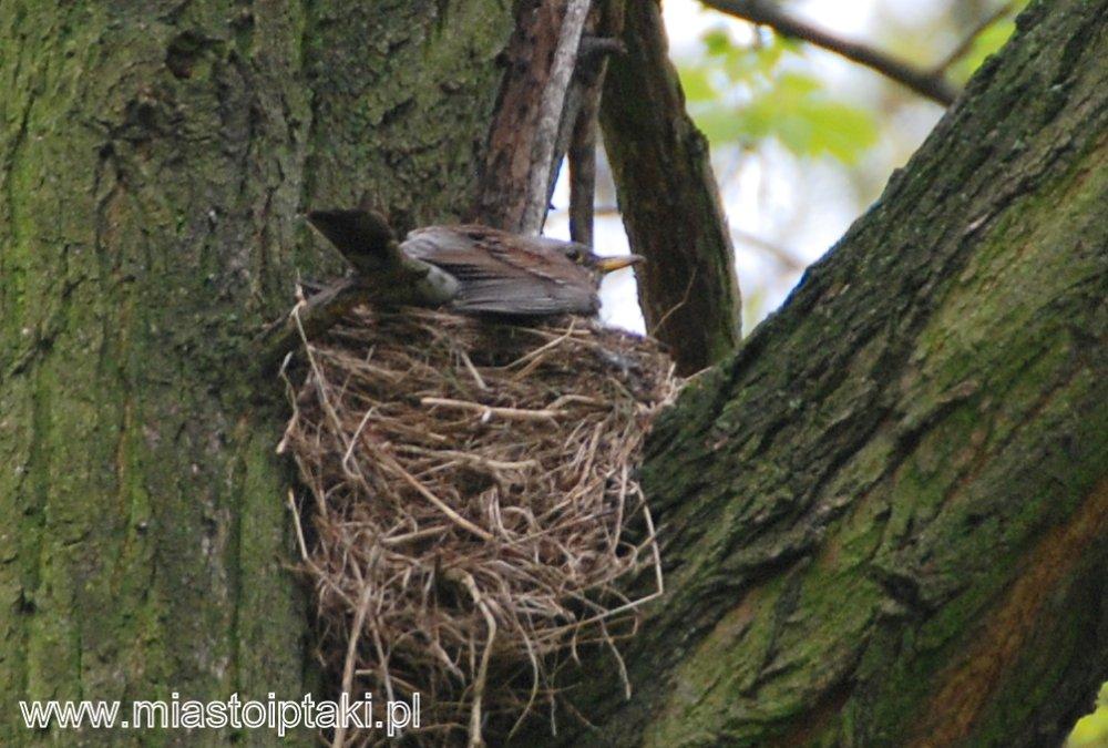 Wysiadujący kwiczoł (Turdus pilaris)