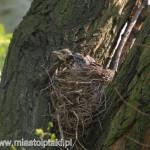 """""""Jak będę duży, będę latał jak tata!"""" - kwiczoł (Turdus pilaris)"""