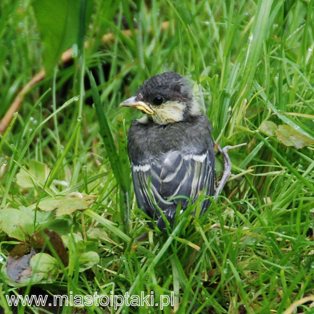 Pisklę bogatki (Parus major) w trawie