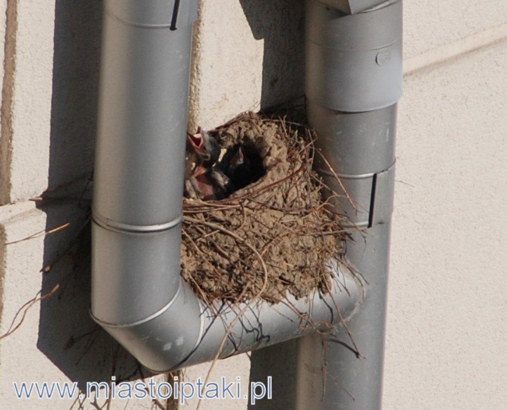 Gniazdo srok na budynku