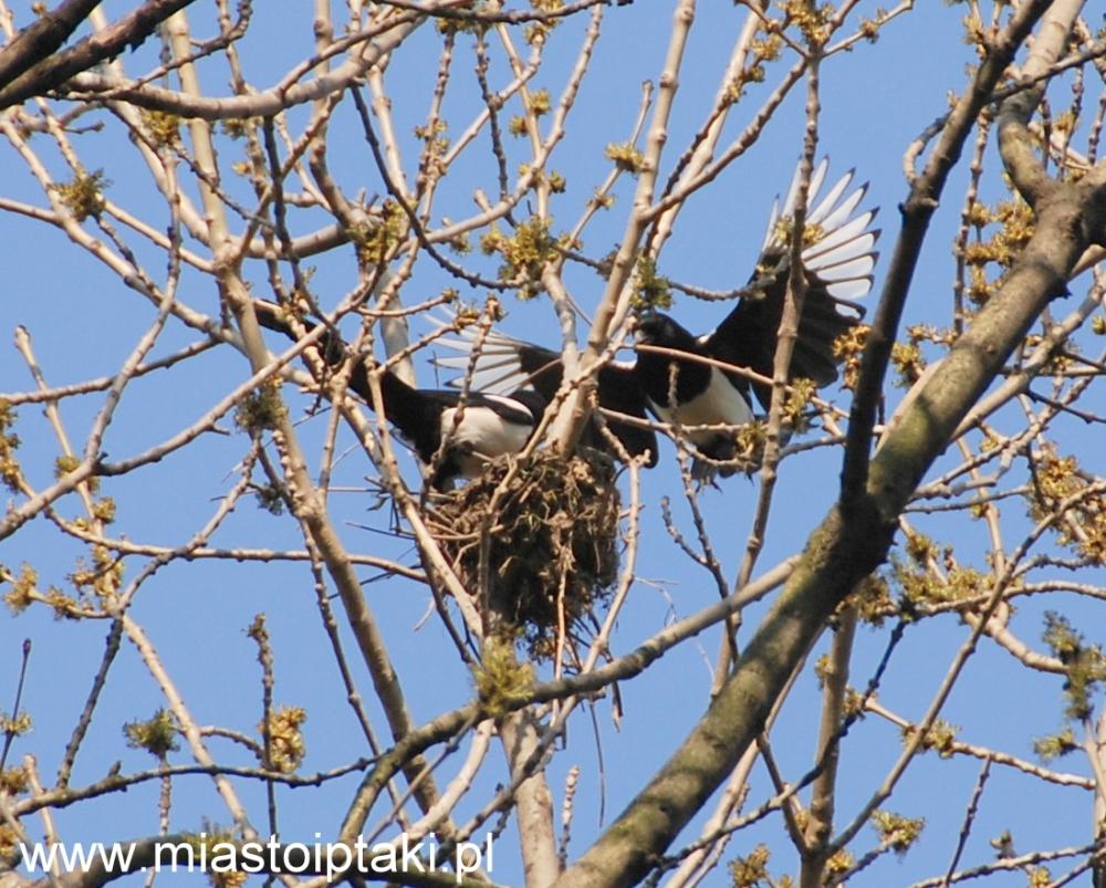 Sroki (Pica pica) przy budowie gniazda na drzewie