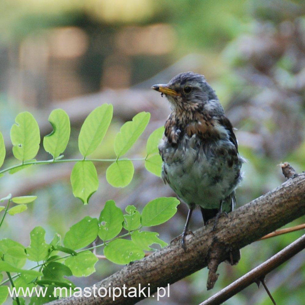 młody kwiczoł (Turdus pilaris)