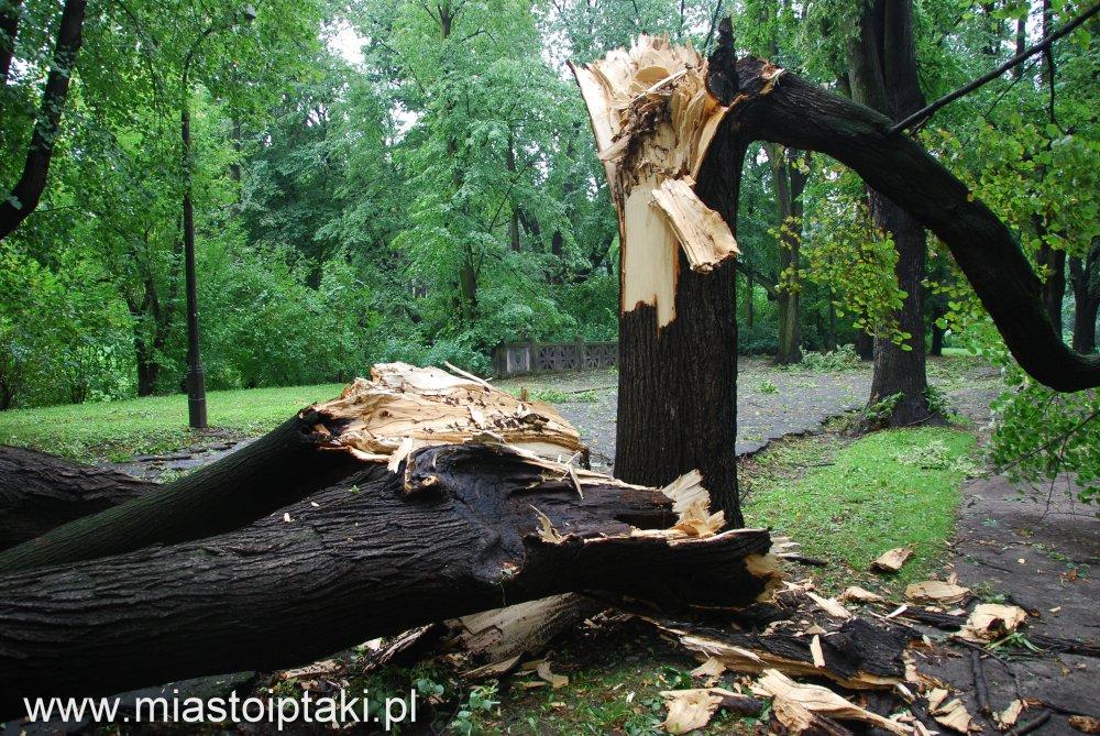 park Skaryszewski - drzewo złamane przez wiatr w alei okrężnej