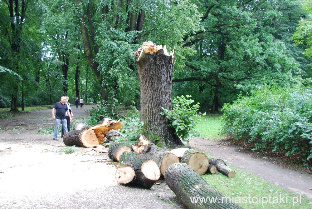 park Skaryszewski – wiatr poradził sobie nawet z tak potężnym drzewem