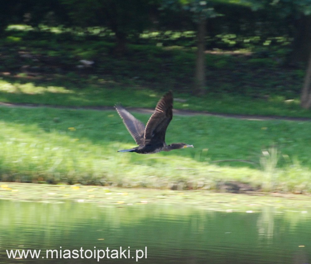 Kormoran (Phalacrocorax carbo) nad jeziorkiem Kamionkowskim