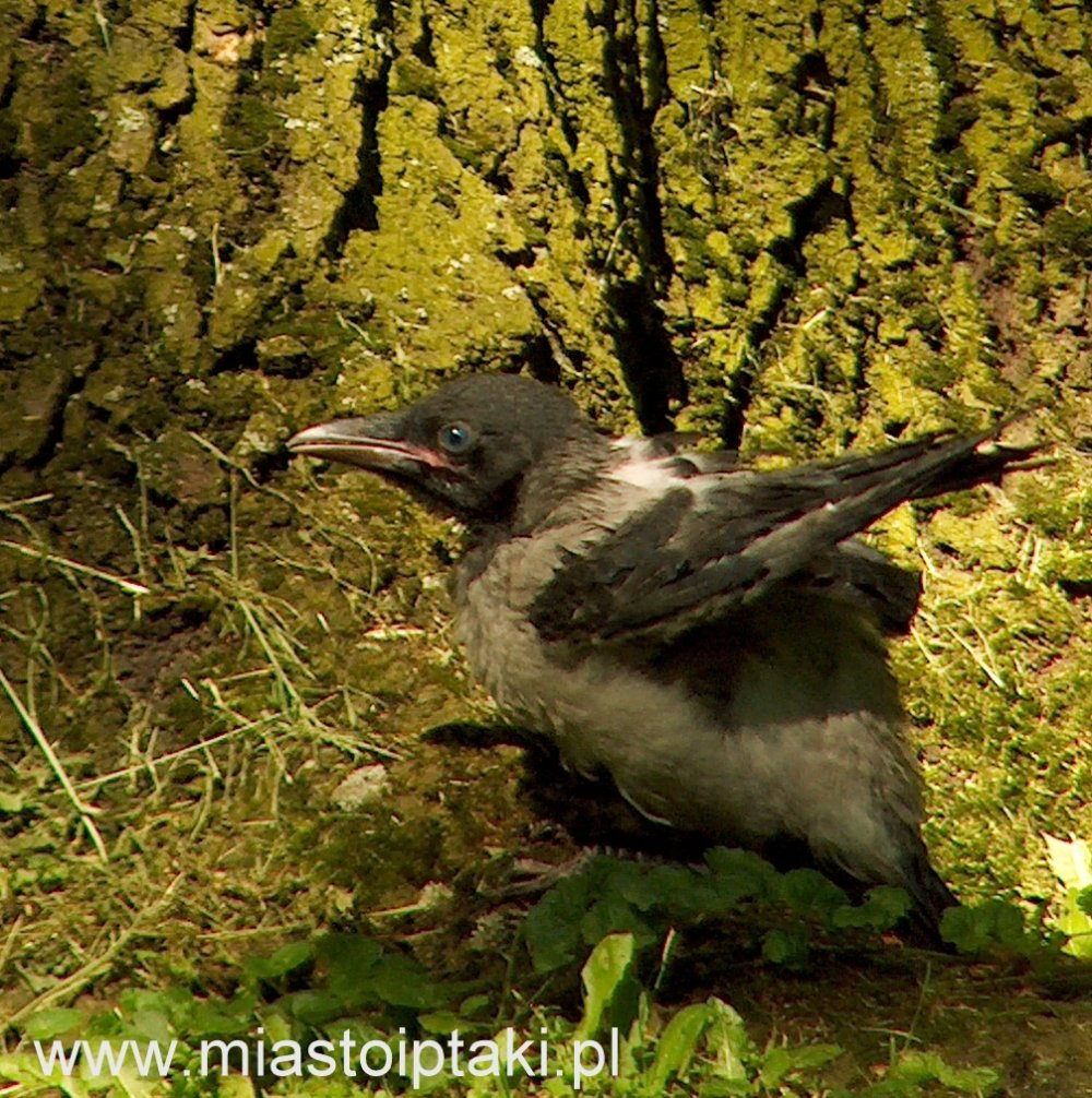 młoda wrona siwa (Corvus cornix)