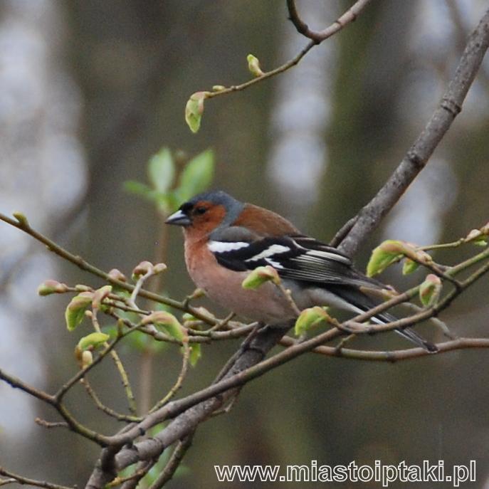 Zięba (Fringilla coelebs) – ptak EDP 2010