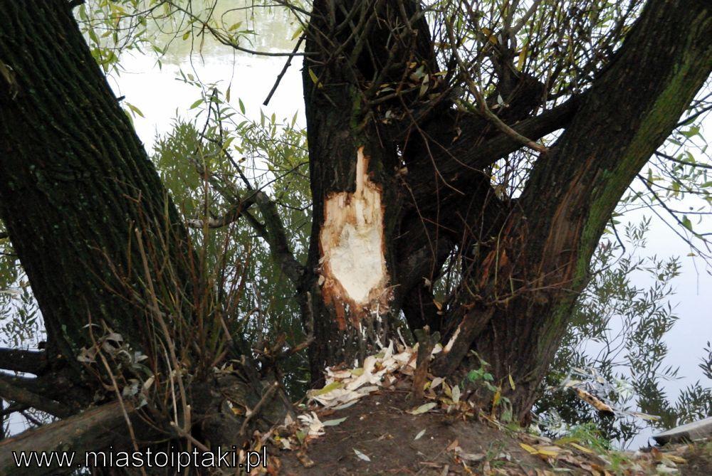 Tak ostrugać drzewo potrafi tylko bóbr