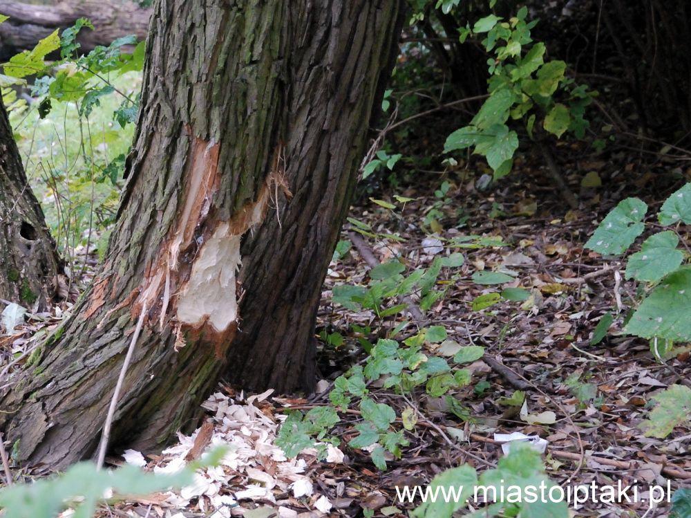 To drzewo pilnie potrzebuje siatki ochronnej!