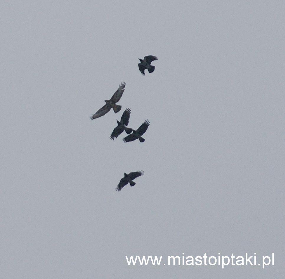 Wrony próbujące przepędzić myszołowa