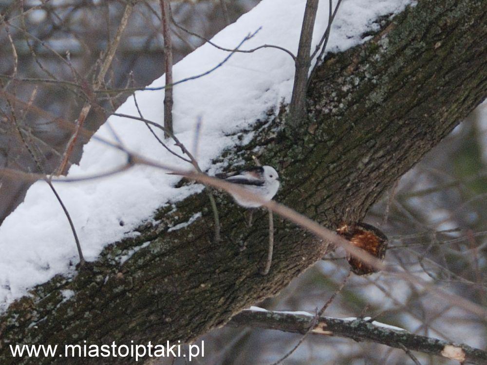 Zimą raniuszek doskonale wtapia się w otoczenie