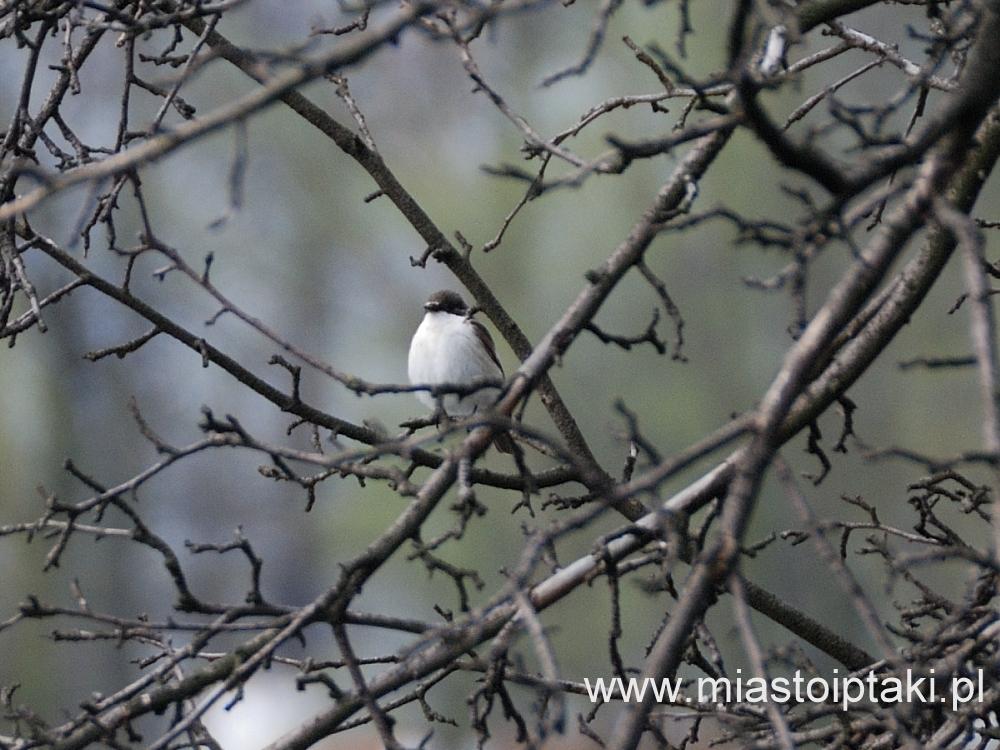 Samiec muchołówki żałobnej w parku Skaryszewskim