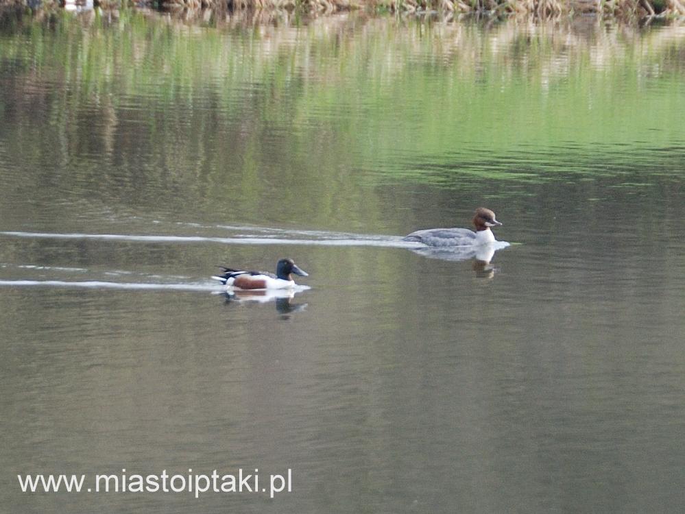 Samiec płaskonosa i samica nurogęsi w parku Skaryszewskim