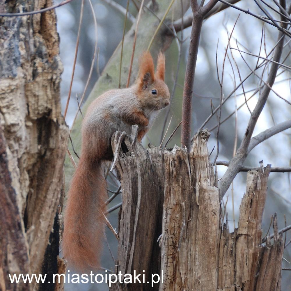 Wiewiórka pospolita w parku Skaryszewskim