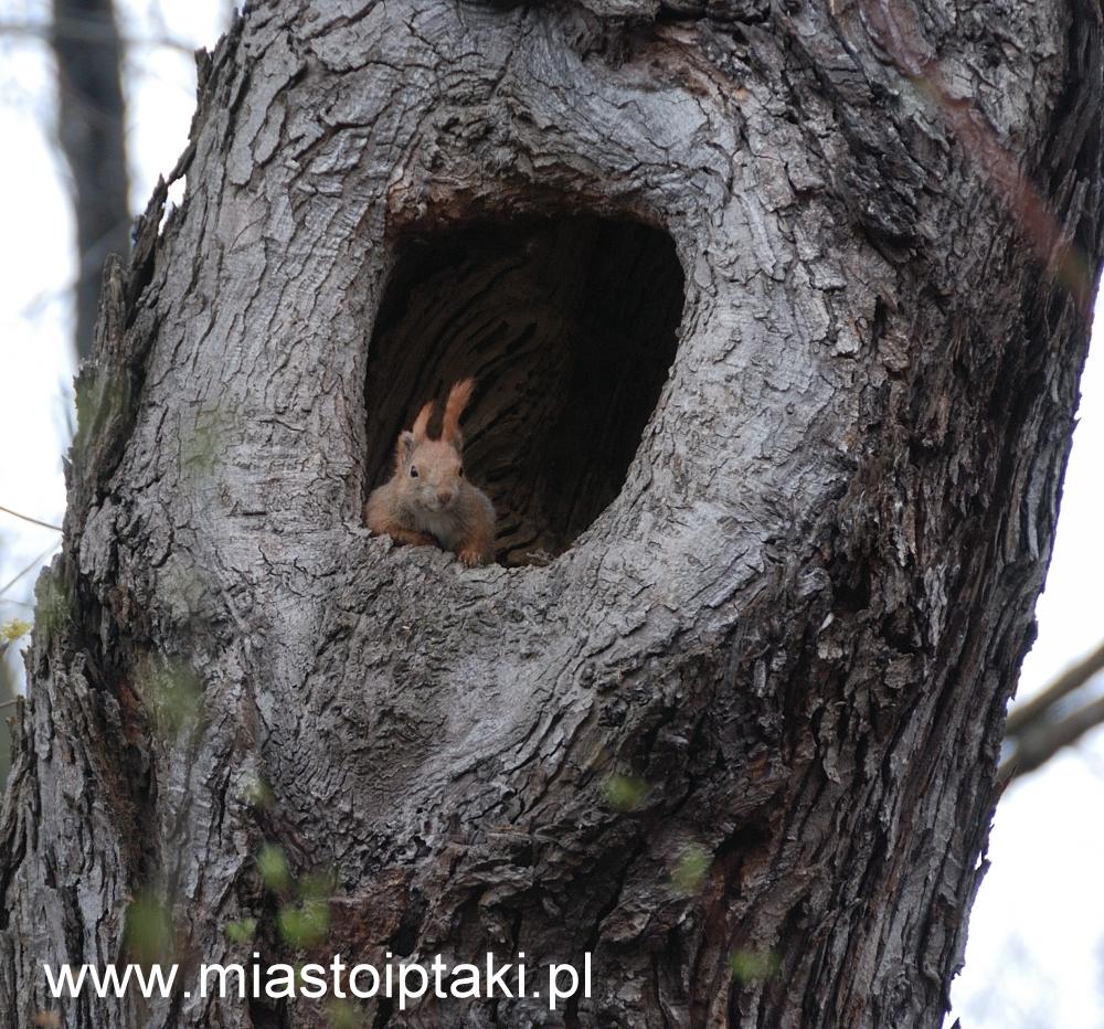 Ta wiewiórka chciała zająć dziuplę kaczki ...